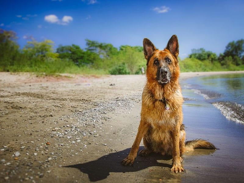 pastor aleman en la playa